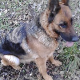 Собаки - Потеряна собака порода-немецкая овчарка, 0