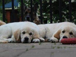 Собаки - Щенки золотистого ретривера. Питомник РКФ-FCI.…, 0