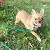 Девочка чихуахуа по цене 7500₽ - Собаки, фото 6