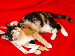 Кошки - Трёхцветная кошка ищет дом, 0