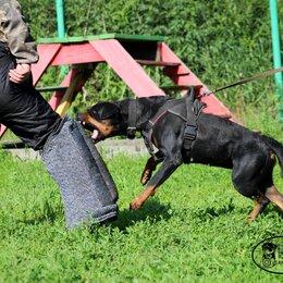 Собаки - Ротвейлер девочка, 0