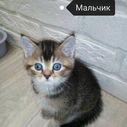 Кошки - Прямоухий тикированный шотландский котенок. , 0