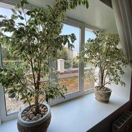 Комнатные растения - Фикус бенджамина штамбовое дерево, 0
