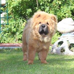 Собаки - щенок чау-чау .красные, черные , голубые., 0