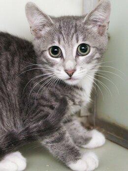 Кошки - Дымчатый полосатый малыш Жюль, 0