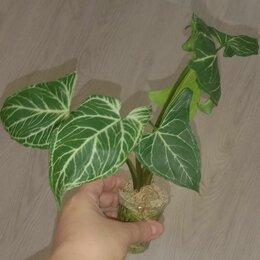 Комнатные растения - Сингониум голден венейшен, 0