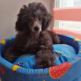 Собаки - Той пудель щенки , 0
