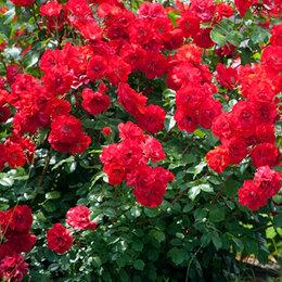 "Рассада, саженцы, кустарники, деревья - АФ ""Поиск"" Роза канадская парковая Аделаида Худлес (Adelaide Hoodless), 0"