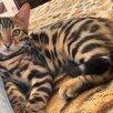Бенгальский котёнок  по цене 35000₽ - Кошки, фото 1