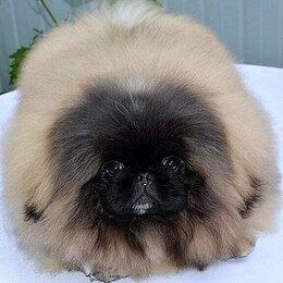 Собаки - Пекинес щенок, 0
