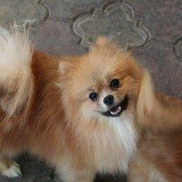Собаки - Шпиц  Лаки, 0