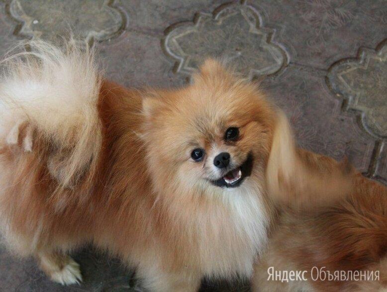 Шпиц  Лаки по цене 25000₽ - Собаки, фото 0