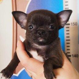 Собаки - Чихуахуа мальчик черный, 0