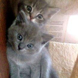 Кошки - Британские котята бесплатно, 0