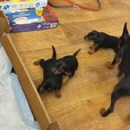 Собаки - Пинчер карликовый щенок черный, 0