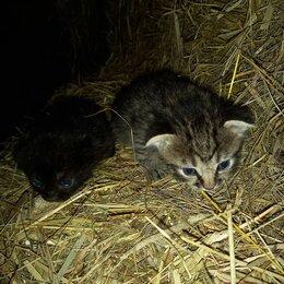 Кошки - Котята в дар, вислоухие, 0