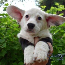 Собаки - Вельш-корги кардиган, 0