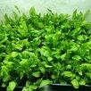 Микрозелень - СуперФуд 2021 по цене 120₽ - Продукты, фото 2