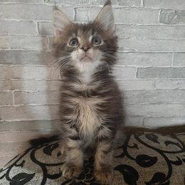 Кошки - Продам мейн-куна , 0
