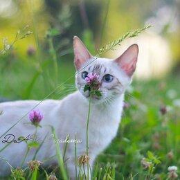Кошки - Бенгальский кот снежного окраса, 0