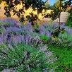 Саженцы лаванды. Зимостойкий сорт. по цене 250₽ - Рассада, саженцы, кустарники, деревья, фото 6