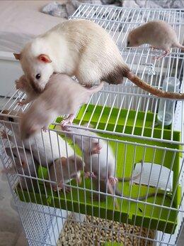 Грызуны - Продам очаровательных крысят породы Дамбо. 100…, 0