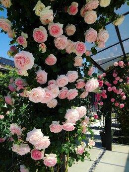Рассада, саженцы, кустарники, деревья - Саженцы плетистой розы Пьер де Ронсар, 0