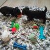 Йоркширские девочки по цене 40000₽ - Собаки, фото 4