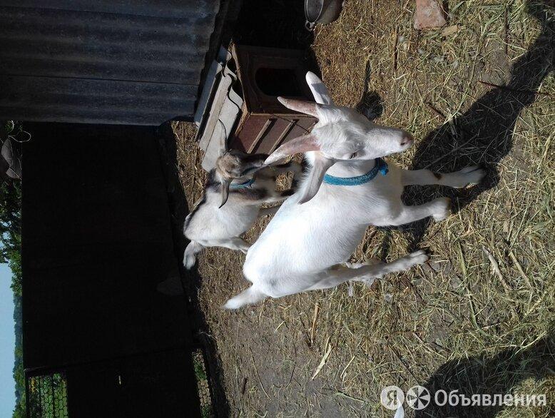 Козлики. по цене 165₽ - Сельскохозяйственные животные и птицы, фото 0