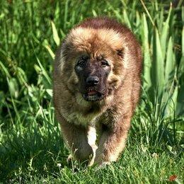Собаки - Настоящие щенки кавказская овчарка, 0