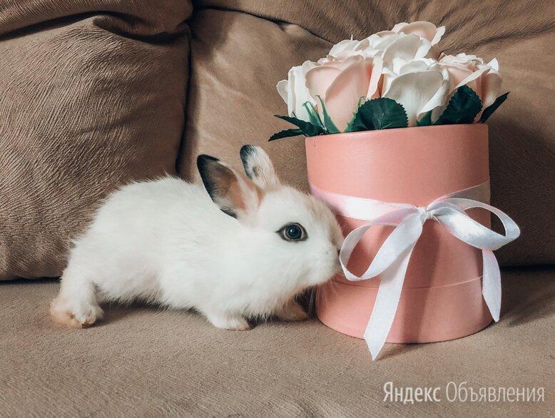 карликовый кролик  по цене 3000₽ - Кролики, фото 0