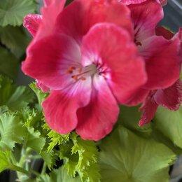 Комнатные растения - Герань Bermuda Cherry, 0