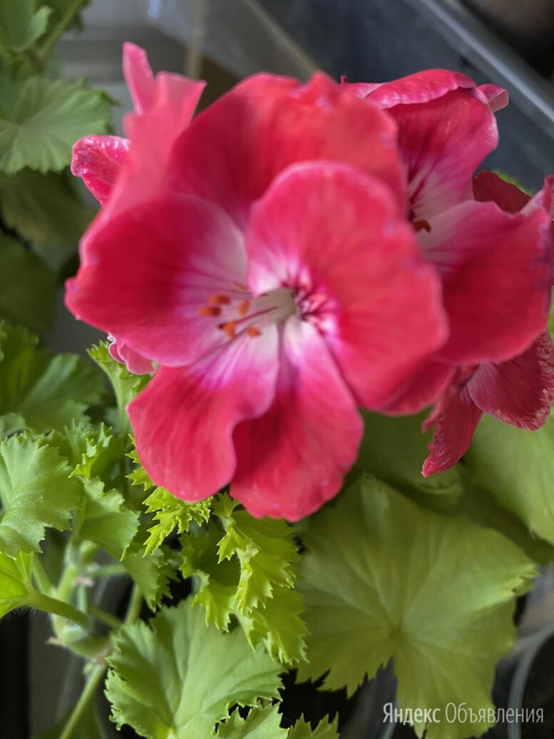 Герань Bermuda Cherry по цене 200₽ - Комнатные растения, фото 0