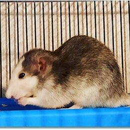 Грызуны - Купить крысу Дамбо. Крысята хаски. Крысы Дамбо…, 0