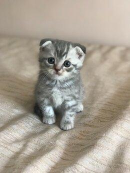 Кошки - Шотландский вислоухий котёнок , 0