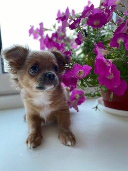 Собаки - Продается щенок чихуа хуа, 0