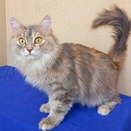 Кошки - Сибирская кошка Лиза, 0