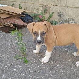 Собаки - Стаффордширский терьер щенки  рыжие с черной маской, 0