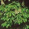 Каштан конский по цене 8800₽ - Рассада, саженцы, кустарники, деревья, фото 3