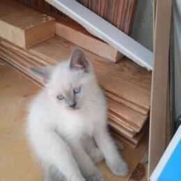 Кошки - Отдам котенка 1.2 месяца. По идее шотланская, 0