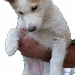 Собаки - Щенок лайки 4 месяца, 0