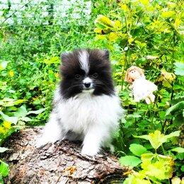 Собаки - Померанский шпиц черно белый щенок, 0