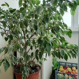 Комнатные растения - Фикус бенджамина буши кинг, 0