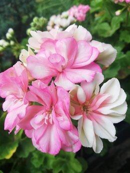 Комнатные растения - Пеларгонии сортовые, 0