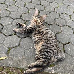 Кошки - Котята. Курильский бобтейл. Готовы к переезду, 0