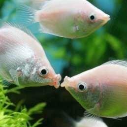 Аквариумные рыбки - Гурами целующийся, 0