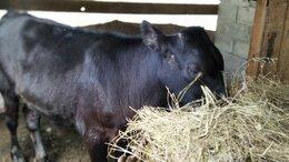Сельскохозяйственные животные - Бычок, 0