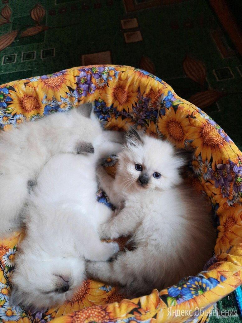 Невские Маскарадные котята по цене 4000₽ - Кошки, фото 0