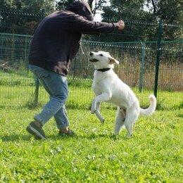 Собаки - Лорд - крупный красивый пес в добрые руки, 0