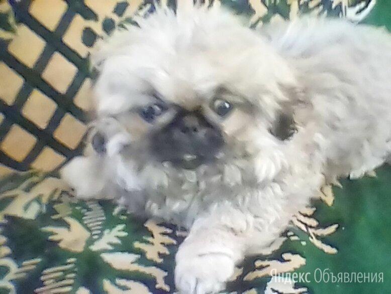 пекинесы по цене 1₽ - Собаки, фото 0